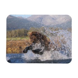 Brown bear, grizzly bear, catching pink salmon, rectangular photo magnet