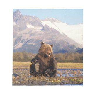 Brown bear, grizzly bear,  in riverbed with notepad