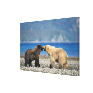 Brown bear, grizzly bear, play on the beach, canvas print