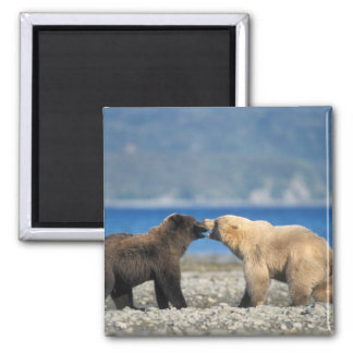 Brown bear, grizzly bear, play on the beach, magnet