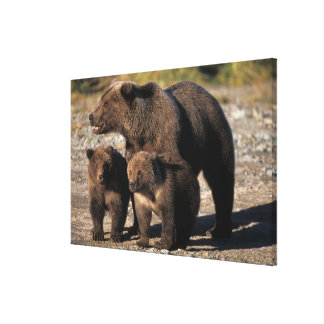 Brown bear, grizzly bear, sow with cubs looking canvas prints