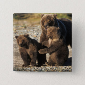 Brown bear, grizzly bear, sow with cubs on coast 15 cm square badge