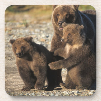 Brown bear, grizzly bear, sow with cubs on coast drink coasters
