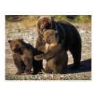 Brown bear, grizzly bear, sow with cubs on coast postcard