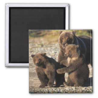 Brown bear, grizzly bear, sow with cubs on coast square magnet