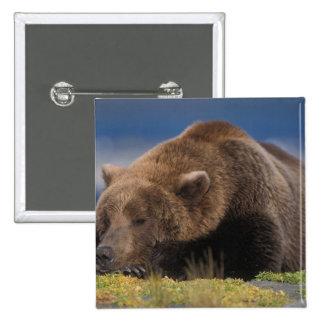 Brown bear, grizzly bear, taking a nap, Katmai 15 Cm Square Badge