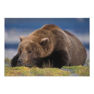 Brown bear, grizzly bear, taking a nap, Katmai Art Photo