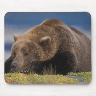 Brown bear, grizzly bear, taking a nap, Katmai Mouse Mat