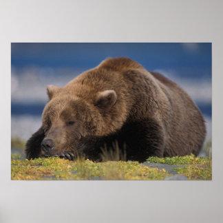 Brown bear, grizzly bear, taking a nap, Katmai Poster
