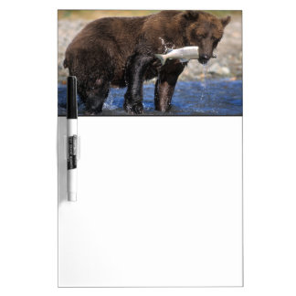 Brown bear, grizzly bear, with salmon catch, dry erase board