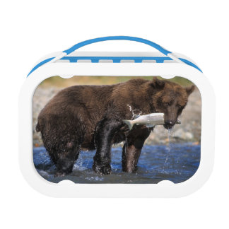 Brown bear, grizzly bear, with salmon catch, lunch box