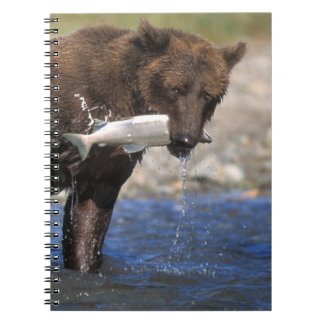 Brown bear, grizzly bear, with salmon catch, notebooks