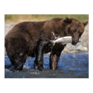 Brown bear, grizzly bear, with salmon catch, postcard