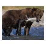 Brown bear, grizzly bear, with salmon catch, poster