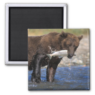 Brown bear, grizzly bear, with salmon catch, square magnet