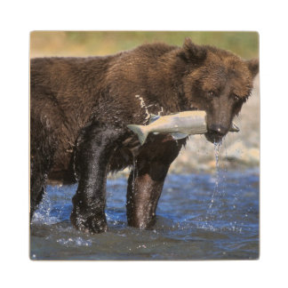 Brown bear, grizzly bear, with salmon catch, wood coaster