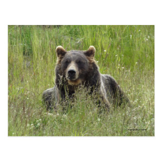 Brown bear in grass, Alaska grizzly Postcard