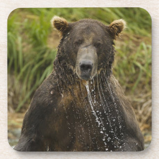 Brown bear, male, fishing for salmon coaster