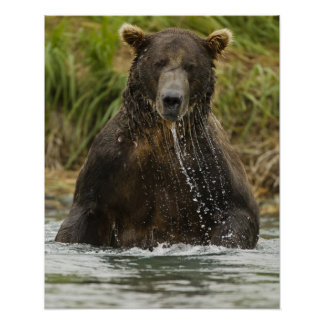 Brown bear, male, fishing for salmon poster