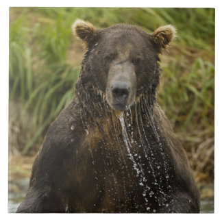 Brown bear, male, fishing for salmon tile