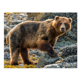 Brown bear on beach 2 postcard