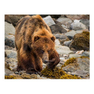 Brown bear on beach 3 postcard