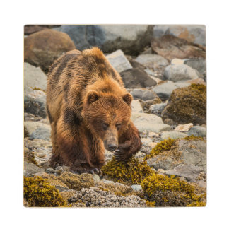 Brown bear on beach 3 wood coaster