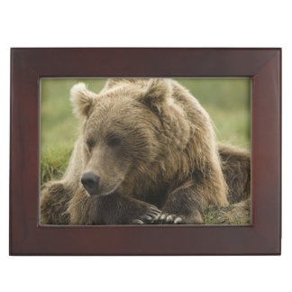 Brown bear, or Coastal Grizzly Bear, Ursus Memory Boxes