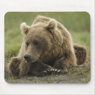 Brown bear, or Coastal Grizzly Bear, Ursus Mousepad