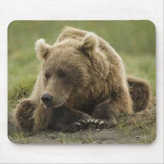 Brown bear, or Coastal Grizzly Bear, Ursus Mousepad