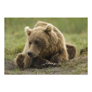 Brown bear, or Coastal Grizzly Bear, Ursus Photograph
