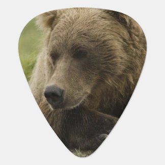 Brown bear, or Coastal Grizzly Bear, Ursus Plectrum