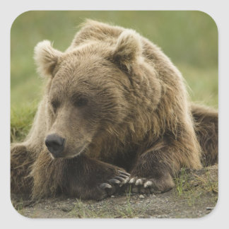 Brown bear, or Coastal Grizzly Bear, Ursus Square Sticker