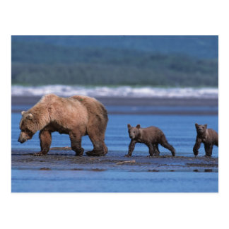 Brown Bear, Ursus arctos, Alaska Peninsula, 2 Postcard