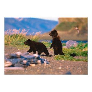 Brown Bear, Ursus arctos, Alaska Peninsula, Photo Print