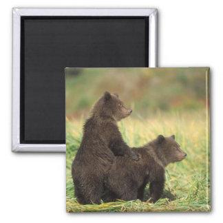 brown bear, Ursus arctos, grizzly bear, Ursus 2 Fridge Magnets