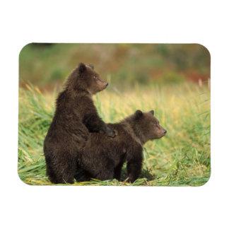 brown bear, Ursus arctos, grizzly bear, Ursus 2 Rectangular Photo Magnet
