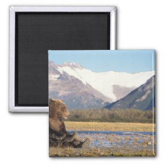 brown bear, Ursus arctos, grizzly bear, Ursus 2 Square Magnet