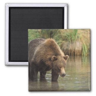 brown bear, Ursus arctos, grizzly bear, Ursus 3 Magnets