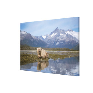 brown bear, Ursus arctos, grizzly bear, Ursus 4 Canvas Print
