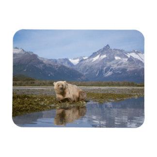 brown bear, Ursus arctos, grizzly bear, Ursus 4 Rectangular Photo Magnet
