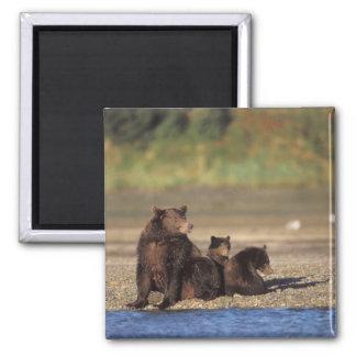 brown bear, Ursus arctos, grizzly bear, Ursus 4 Square Magnet