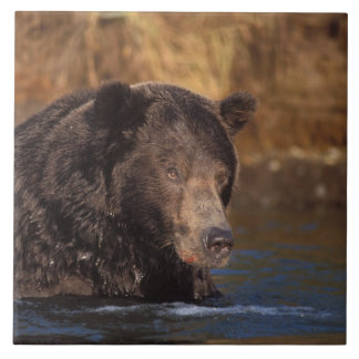 brown bear, Ursus arctos, grizzly bear, Ursus 5 Tile
