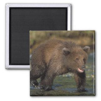 brown bear, Ursus arctos, grizzly bear, Ursus 6 Refrigerator Magnet