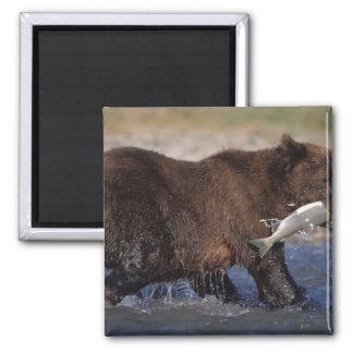 brown bear, Ursus arctos, grizzly bear, Ursus 6 Magnets