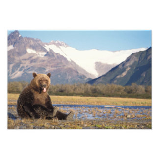 brown bear, Ursus arctos, grizzly bear, Ursus 6 Photo Print