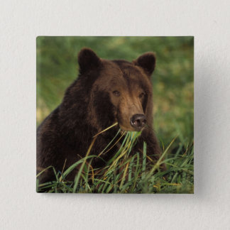 brown bear, Ursus arctos, grizzly bear, Ursus 7 15 Cm Square Badge