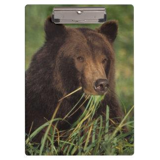 brown bear, Ursus arctos, grizzly bear, Ursus 7 Clipboard