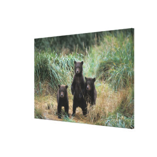 brown bear, Ursus arctos, grizzly bear, Ursus 7 Gallery Wrapped Canvas