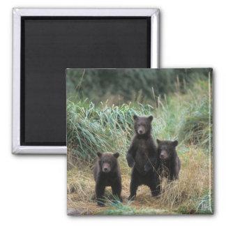 brown bear, Ursus arctos, grizzly bear, Ursus 7 Magnet
